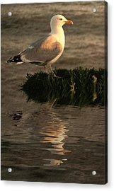 Golden Gull Acrylic Print by Sharon Lisa Clarke