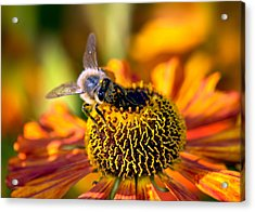 Golden Harvest Acrylic Print