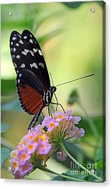 Golden Helicon Butterfly - Say What Acrylic Print