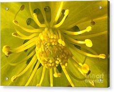 Golden Hellebore Glory Acrylic Print
