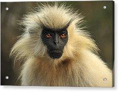 Golden Langur Chakrashila Wildlife Acrylic Print by Thomas Marent