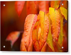 Golden Leaves In The Rain At Stanford Acrylic Print