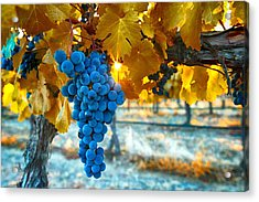 Golden Leaves With Grapes Acrylic Print