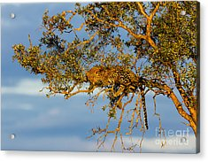 Golden Leopard In The Tree Acrylic Print by Maggy Meyer