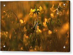 Golden Light Acrylic Print
