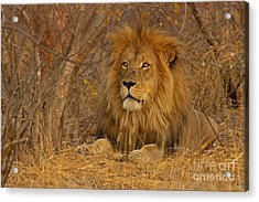 Golden Mane Acrylic Print by Ashley Vincent