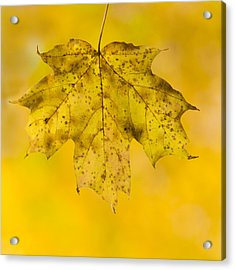 Golden Maple Leaf Acrylic Print by Sebastian Musial