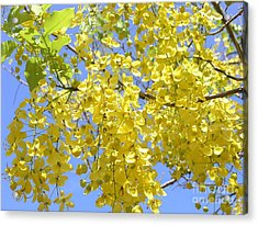 Golden Medallion Shower Tree Acrylic Print