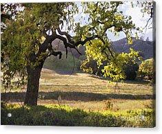 Golden Oaks Acrylic Print