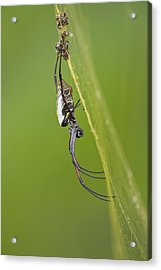 Golden Orb-weaver Spider Acrylic Print by Science Photo Library