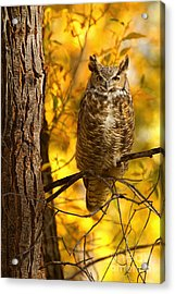 Golden Owl Acrylic Print by Aaron Whittemore