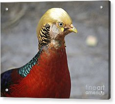 Golden Pheasant Acrylic Print by Marty Fancy