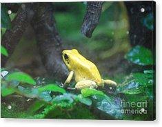 Golden Poison Frog Acrylic Print by DejaVu Designs