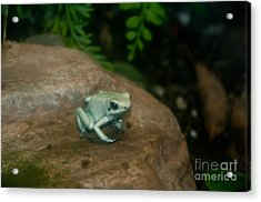 Golden Poison Frog Mint Green Morph Acrylic Print by Mark Newman