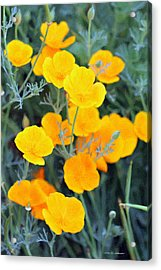 Golden Poppies Acrylic Print