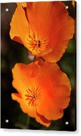 Golden Poppyies Acrylic Print