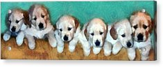 Golden Puppies Acrylic Print by Michelle Calkins