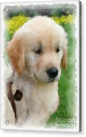 Golden Puppy Owen Acrylic Print by Betsy Cotton