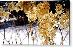Golden Purity Acrylic Print by Danielle  Broussard