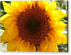Golden Ratio Sunflower Acrylic Print by Kerri Mortenson