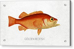 Golden Redfish Acrylic Print by Aged Pixel