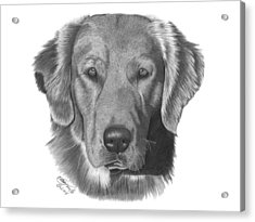 Golden Retriever - 026 Acrylic Print