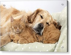Golden Retriever And Orange Cat Acrylic Print