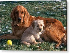 Golden Retriever And Puppy Acrylic Print by William H. Mullins