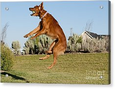 Golden Retriever Catching A Ball Acrylic Print by William H. Mullins