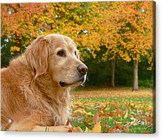 Golden Retriever Dog Autumn Leaves Acrylic Print by Jennie Marie Schell