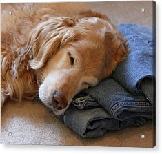 Golden Retriever Dog Forever On Blue Jeans Acrylic Print by Jennie Marie Schell