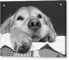 Golden Retriever Dog I See You Acrylic Print