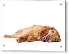 Golden Retriever Dog Laying Down  Acrylic Print by Susan Schmitz