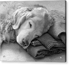 Golden Retriever Dog On Forever On Blue Jeans Black And White Acrylic Print by Jennie Marie Schell