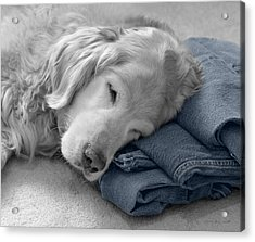 Golden Retriever Dog Forever On Blue Jeans Monochrome Acrylic Print by Jennie Marie Schell