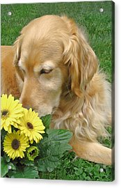Golden Retriever Dog Smell The Flowers Acrylic Print by Jennie Marie Schell