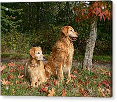 Golden Retriever Dogs In Autumn Acrylic Print by Jennie Marie Schell