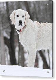 Golden Retriever In The Snow Acrylic Print
