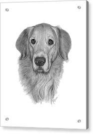 Golden Retriever Acrylic Print by Joe Olivares