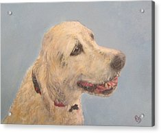 Pet Portrait Of Golden Retriever Maisie  Acrylic Print by Richard James Digance