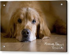Golden Retriever Missing You Acrylic Print by James BO  Insogna
