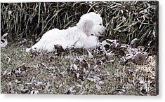 Golden Retriever Puppy 2 Acrylic Print by Andrea Anderegg