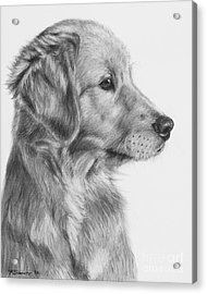 Golden Retriever Puppy In Charcoal One Acrylic Print