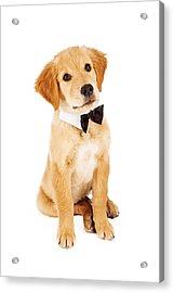 Golden Retriever Puppy Wearing Bow Tie Acrylic Print by Susan Schmitz