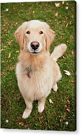 Golden Retriever Acrylic Print by Ron Levine