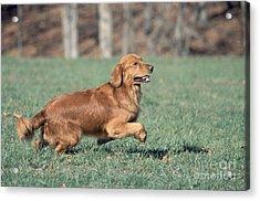 Golden Retriever Running Acrylic Print by David Davis