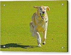 Golden Retriever Running On A Green Acrylic Print by Rona Schwarz