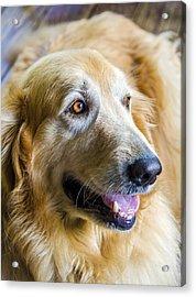 Golden Retriever Smile Acrylic Print by Carolyn Marshall