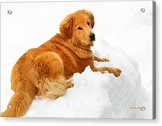 Golden Retriever Snowball Acrylic Print by Christina Rollo