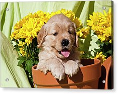 Golden Retriever Waiting At Obedience Acrylic Print